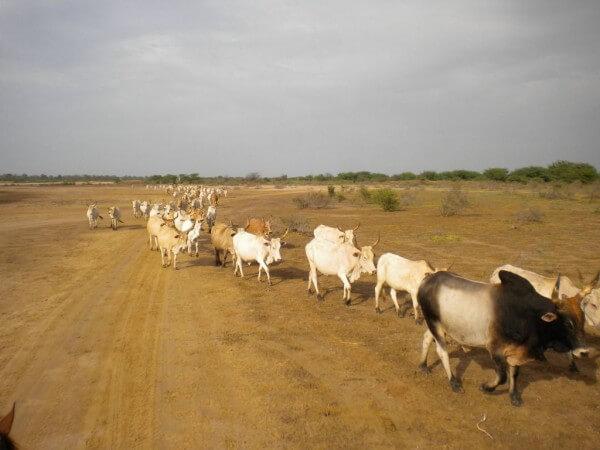 Troupeau village peulhs