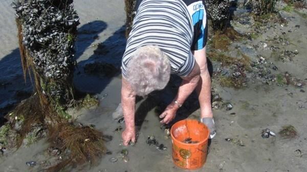 Celles qui sont détachées de leur piquets peuvent être ramassées par les pêcheurs à pied lors des grandes marées.