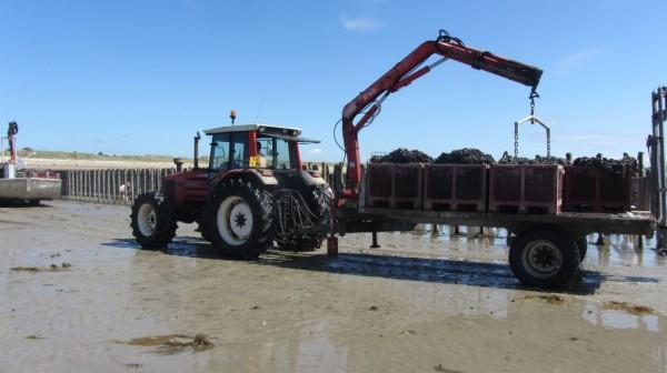 Le ramassage des moules. Les professionnels utilisent les grands moyens pour relever les sacs de moules.